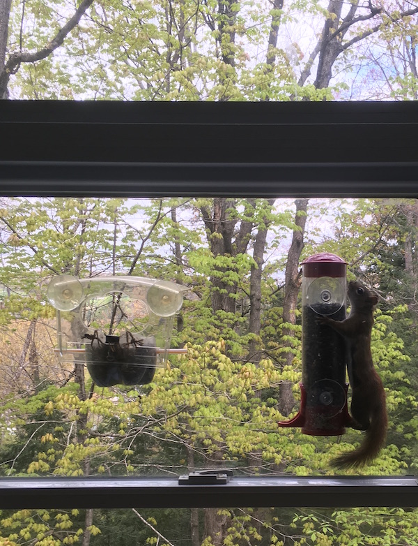 red squirrel on my feeder