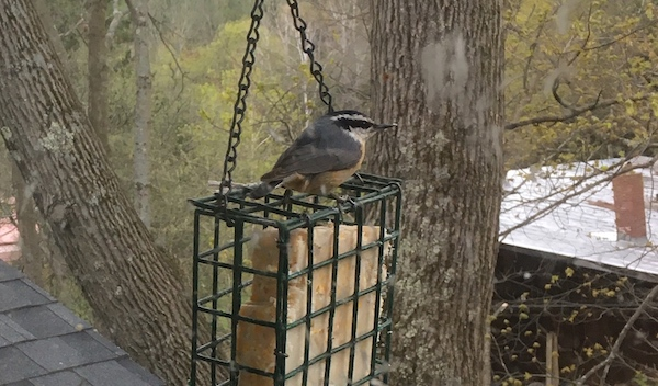 red breasted nuthatch sitting on a suet cage with suet in it